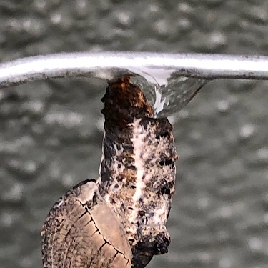 Caterpillar Chrysalis Detail