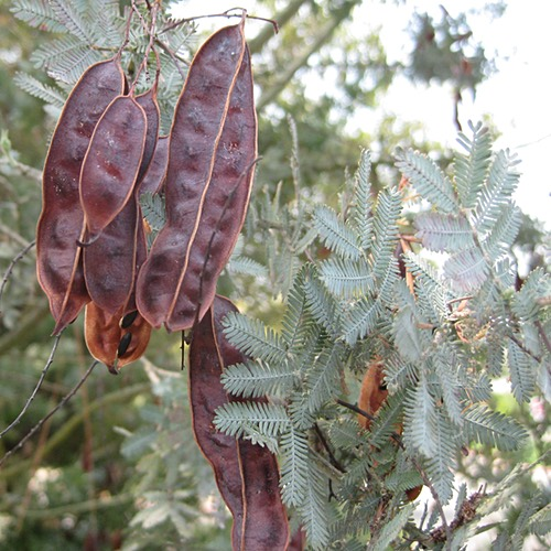 Acacia Tree and Pods
