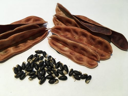 Acacia Seeds and Pods