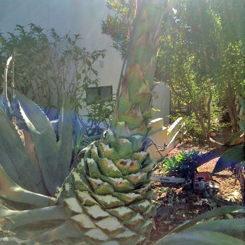 Agave and Chain Saw