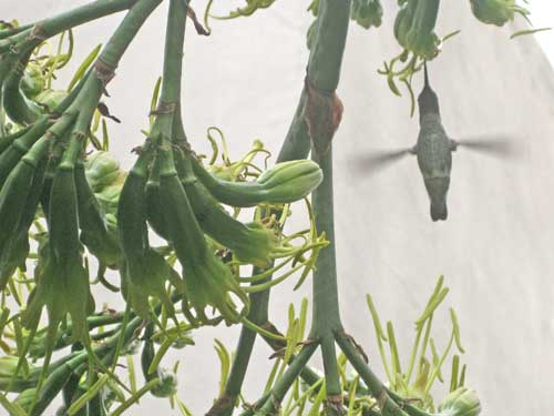 Agave and Hummingbird