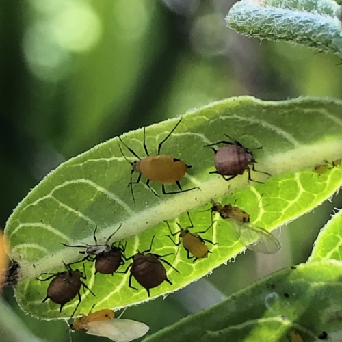 Aphids Yellow