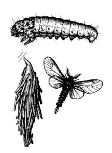 Bagworm Illustration