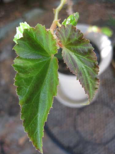 Begonia after treatment