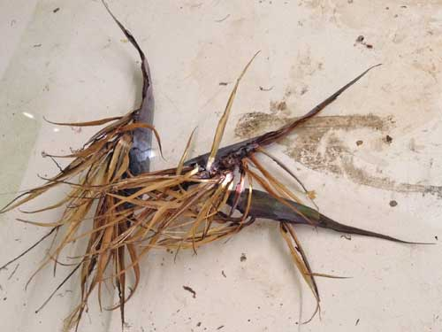 Bird of Paradise Cuttings