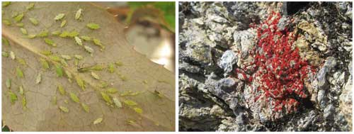 Aphids and Lichens