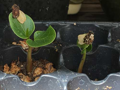 Brachychiton Seedlings