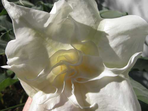 Brugmansia Double White Flower