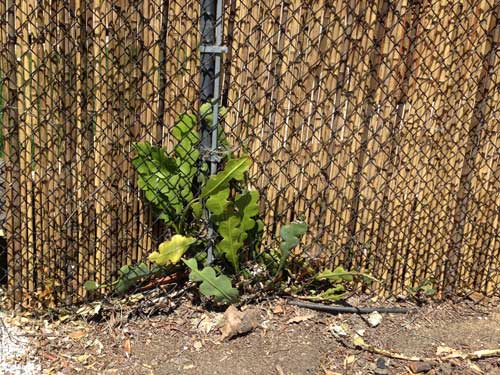Cactus and Fence