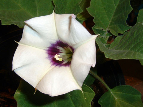 Datura White and Purple Image