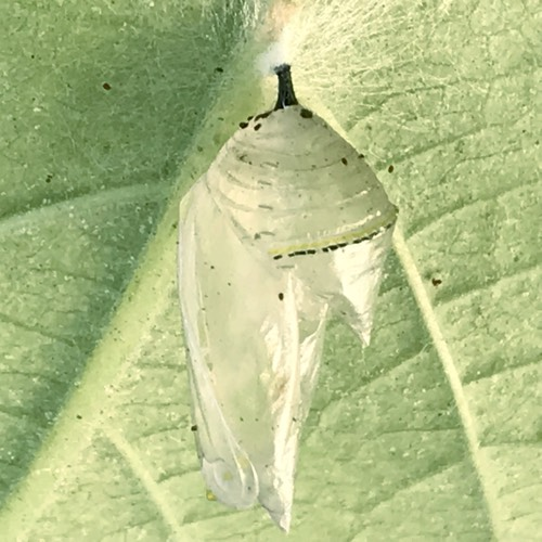 Empty Chrysalis