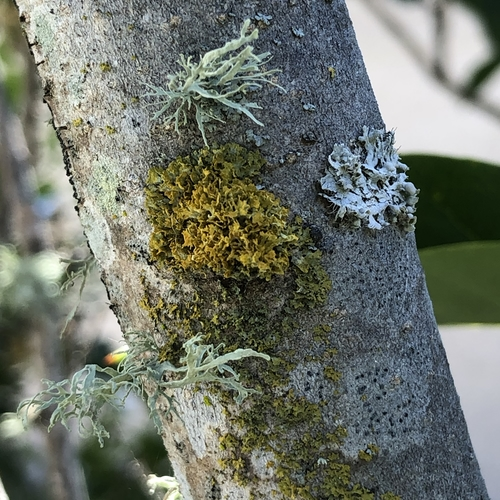 Lichens on Lilac