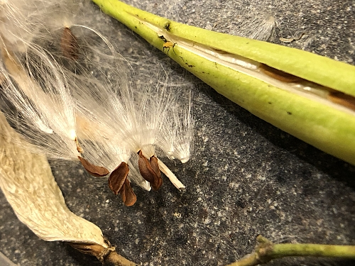 Milkweed With Yellow Aphid