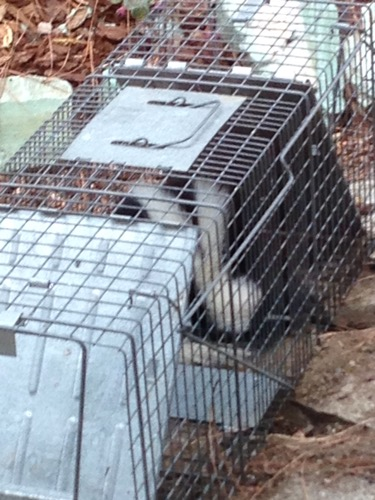 Skunk in Trap