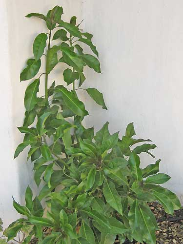 Solandra Maxima Plant from Cutting