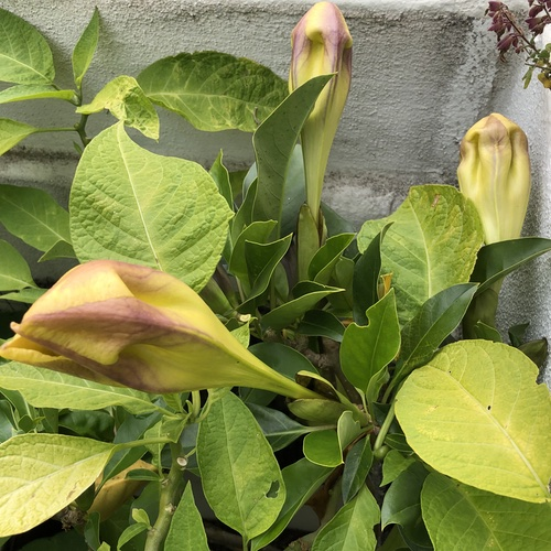 Solandra maxima Bud Groups