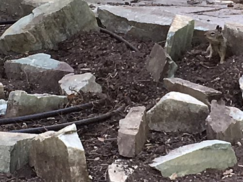 Squirrel in  Rock Garden