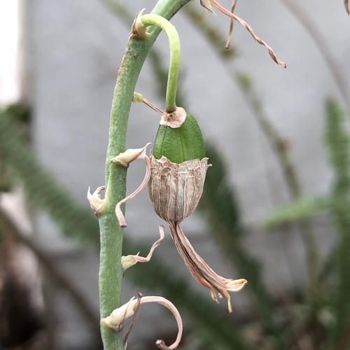 Succulent Seeds Developing