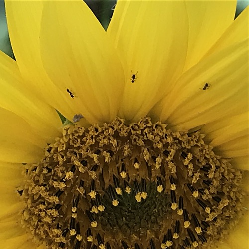 Ants on Sunflower