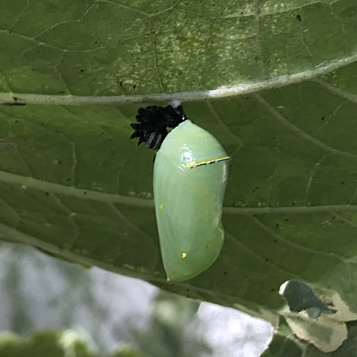 Third Chrysalis