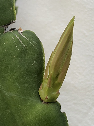 Trapped Cactus Bud