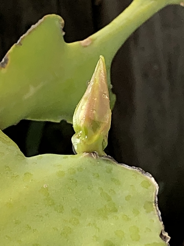 Untrapped Cactus Bud